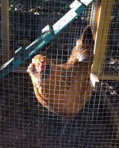Urban chicken farms are the best, especially when they're run by preschoolers.