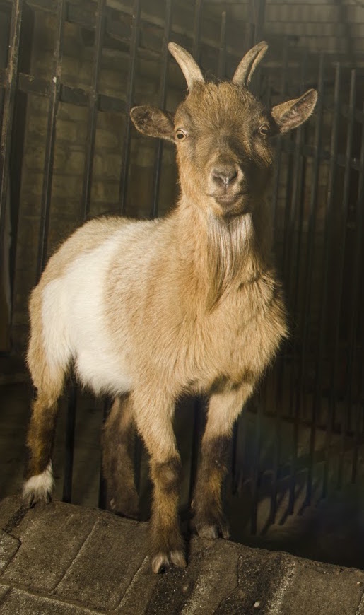Who doesn't have a family pet goat in their backyard, yellow Texas!
